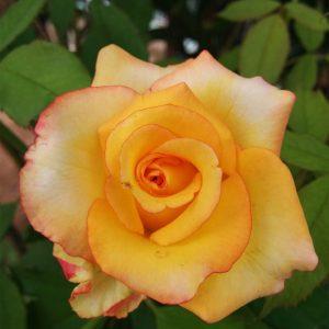 rosa-antigole-amarilla-carmin-pie-bajo