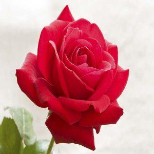 rosa-red-chuser