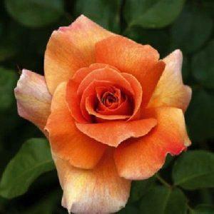 rosal-betina5