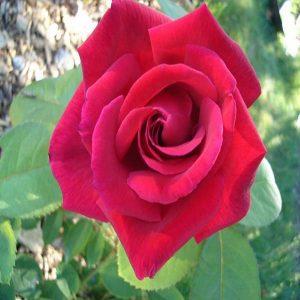 rosal-chrysler-imperial