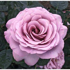 rosal-lady-lila