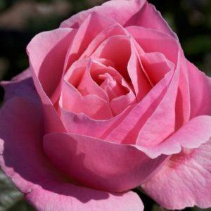rosal-trepador-queen-elizabeth-