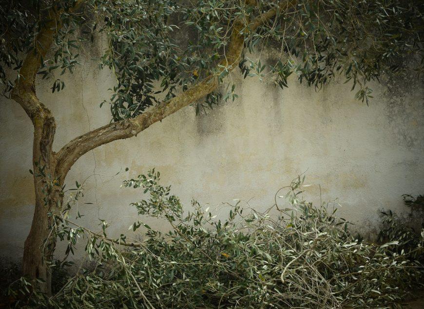 olive-tree-1756611_1280