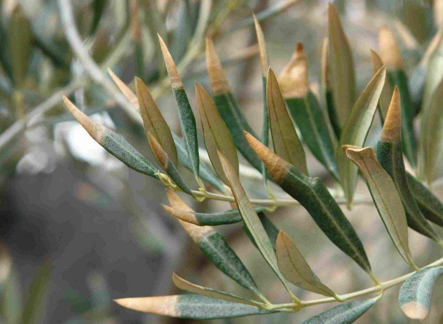 seca_del_olivo1_olivicultura